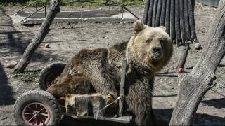 Πέθανε ο Ούσκο, ο πρώτος αρκούδος που κινούνταν με αναπηρικό καροτσάκι