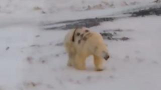 Έκαναν «γκράφιτι» σε πολική αρκούδα: Οργή και προβληματισμός