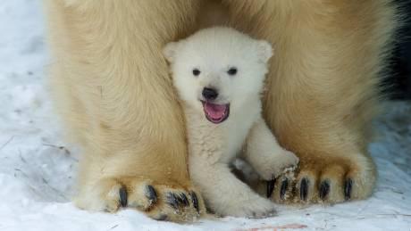 Ρωσία: Δεκάδες πολικές αρκούδες «εγκλωβισμένες» λόγω κλιματικής αλλαγής