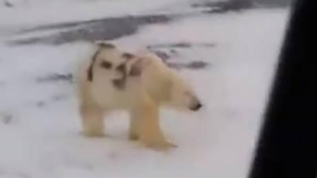 Ανατροπή με το «γκράφιτι» σε πολική αρκούδα: Τι εξηγούν οι επιστήμονες