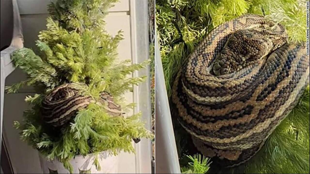 https://cdn.cnngreece.gr/media/news/2019/12/14/200697/photos/snapshot/191213055509-02-three-foot-snake-in-xmas-tree-exlarge-169.jpg