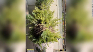 Χριστουγεννιάτικος… εφιάλτης; Πύθωνας τυλίχθηκε γύρω από το δέντρο ζευγαριού!