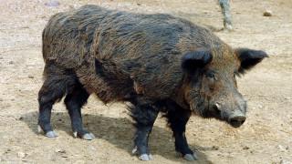 Βέροια: Αγριογούρουνα «εισέβαλαν» στον επαρχιακό δρόμο