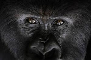 2 Σεπτεμβρίου, Ρουάντα. Ένας ορεινός γορίλας, που ονομάζεται Σεγκασίρα, κοιτάζει το φωτογραφικό φακό από το καταφύγιό του στο Εθνικό Πάρκο Volcanoes, της Ρουάντα.