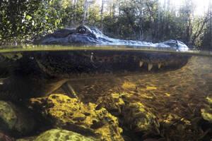 30 Οκτωβρίου, Φλόριντα. Ένας αλιγάτορας αγνοεί τα μικρά ψάρια που κολυμπούν δίπλα του, όσο ο ίδιος περιμένει την ευκαιρία για το επόμενο γεύμα του, στο Εθνικό Πάρκο Big Cypress, στη Φλόριντα. Από το στόμα του ερπετού βγαίνει μια πετονιά…
