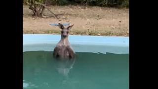 Αυστραλία: Καγκουρό κατέφυγε σε... πισίνα σπιτιού για να γλιτώσει από τη φωτιά