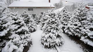 Λετονία: Οι πολίτες καλούνται να διαλέξουν το χριστουγεννιάτικο δέντρο τους