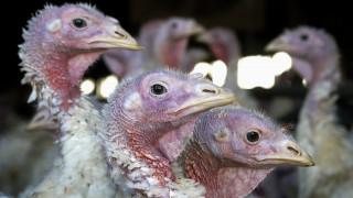 Πολωνία: Κρούσματα της γρίπης των πτηνών σε μονάδες που εκτρέφονται γαλοπούλες