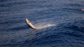 Σκόπελος: Ισχυροί άνεμοι ξέβρασαν νεκρά δελφίνια στην παραλία
