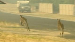 Πυρκαγιές Αυστραλία: Πλησιάζουν το μισό δισεκατομμύριο τα νεκρά ζώα