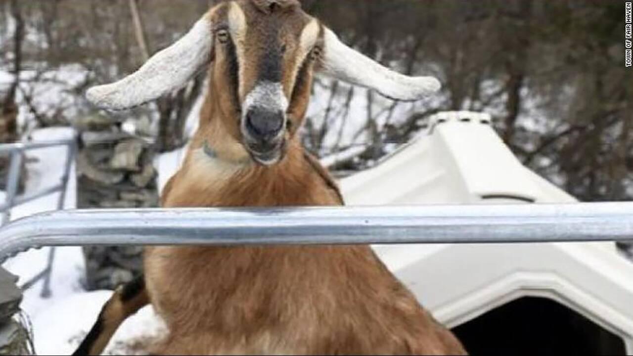 https://cdn.cnngreece.gr/media/news/2020/02/03/206242/photos/snapshot/goat.jpg