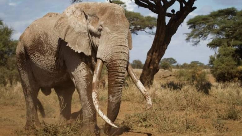 Πέθανε ένας από τους τελευταίους ελέφαντες με τεράστιους χαυλιόδοντες