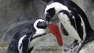Έρευνα: Οι πιγκουίνοι μιλούν... όπως ο άνθρωπος