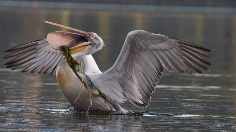 Καστοριά: Ξεπάγωσε η λίμνη και αποκαλύφθηκαν δεκάδες νεκρά πουλιά