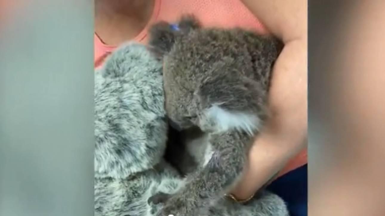 Αυστραλία: Κοάλα που επέζησε των φονικών πυρκαγιών βρίσκει «καταφύγιο» στην αγκαλιά λούτρινου