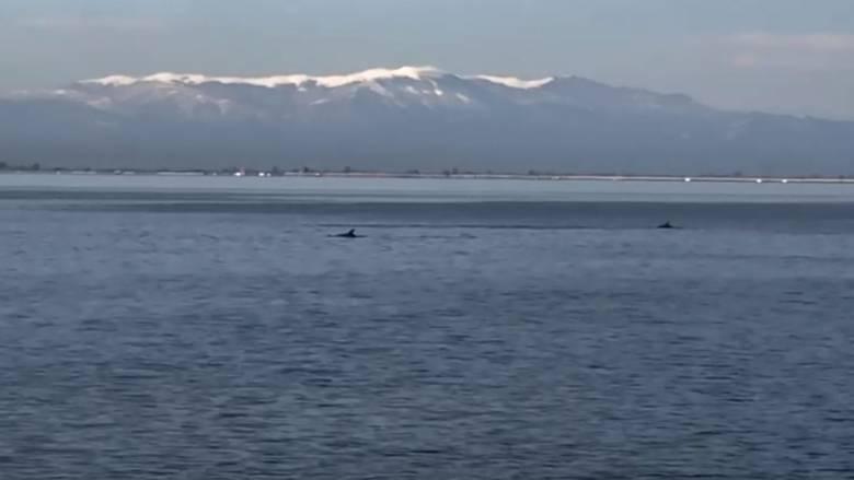 Θεσσαλονίκη: Δελφίνια εμφανίστηκαν στο Θερμαϊκό Κόλπο