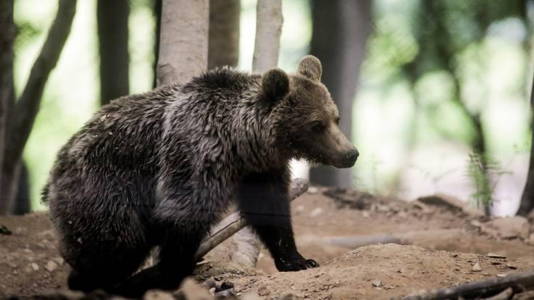 Καστοριά: Αρκούδα με τα δύο μικρά της έκανε βόλτα στην πόλη λόγω... καραντίνας