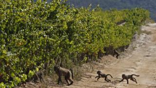 Μαϊμούδες «ναυτικοί» διέσχισαν τον Ατλαντικό και έφτασαν στη Ν. Αμερική πριν 34 εκατ. χρόνια