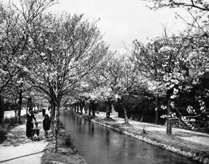 1948, Κιότο, Ιαπωνία. οι περίφημες κερασιές της Ιαπωνίας ανθίζουν.