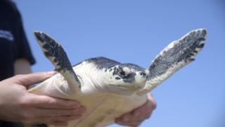 CNN Spotlight - Φλόριντα: Περίοδος ωοτοκίας για τις θαλάσσιες χελώνες στην παραλία Τζούνο