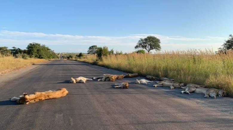 Κορωνοϊός: Τα λιοντάρια στη Νότια Αφρική χαίρονται την «ελευθερία» τους από τον άνθρωπο