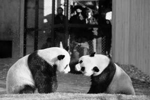1974, Ουάσινγκτον.  Στο ζωολογικό κήπο της πόλης, τα δύο μεγάλα πάντα, ο Λινγκ-Λινγκ και η Χσινγκ-Χσίνγκ, παίζουν στην αυλή του κλουβιού τους.