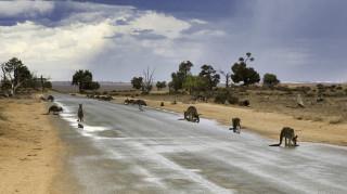 Κορωνοϊός: Καγκουρό έκαναν την εμφάνισή τους στις μεγάλες πόλεις της Αυστραλίας