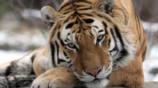 Κορωνοϊός: Θετικά στον ιό ακόμη επτά αιλουροειδή στον ζωολογικό κήπο του Μπρονξ