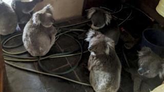 Aυστραλία: Κοάλα που είχαν τραυματιστεί στις πυρκαγιές, επιστρέφουν στην άγρια φύση