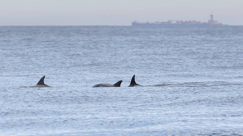 Εικόνες γαλήνης στο Βόσπορο: Δελφίνια κολυμπούν στα ήσυχα νερά