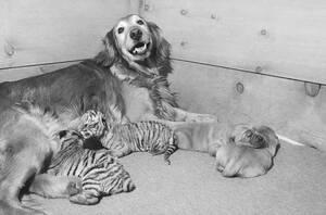 1971, Νέα Υόρκη.  Η Πέπερ, ένα γκόλντεν ριτρίβερ, θηλάζει δύο μικρά τιγράκια της Βεγγάλης. Τα τιγράκια γεννήθηκαν σε τσίρκο αλλά η μαμά τους ήταν πολύ νέα και αδύναμη για να τα θηλάσει. Οι ιδιοκτήτες τους έβαλαν αγγελία και ο ιδιοκτήτης της Πέπερ προσφέρ