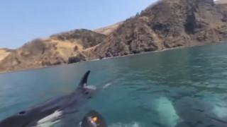 Βίντεο που «κόβει» την ανάσα: Φάλαινες – δολοφόνοι κολυμπούν δίπλα σε κωπηλάτες