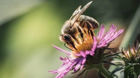 Παγκόσμια Ημέρα Μέλισσας: Όλοι εξαρτώμαστε από την επιβίωσή της