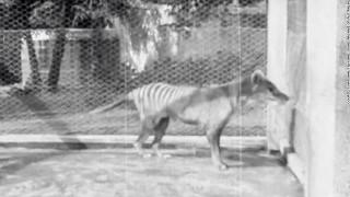 Στη δημοσιότητα σπάνιο ντοκουμέντο από την τελευταία περίφημη Τίγρη της Τασμανίας