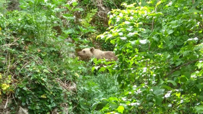 Αρκουδάκι «συμβιώνει» με τους κατοίκους στο Μικρό Πάπιγκο των Ιωαννίνων