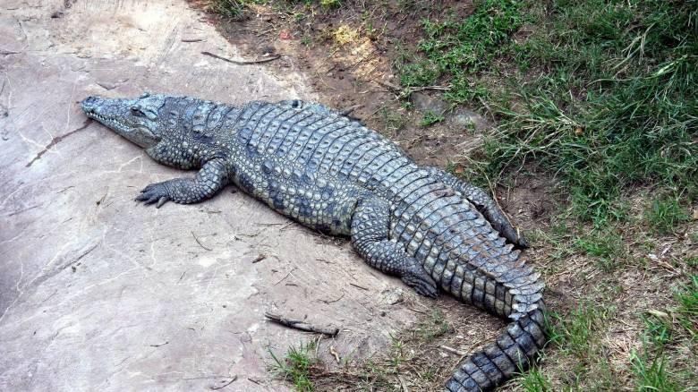 Τέλος εποχής: Πέθανε θρυλικός αλιγάτορας που είχε επιβιώσει του Β΄ Παγκοσμίου Πολέμου