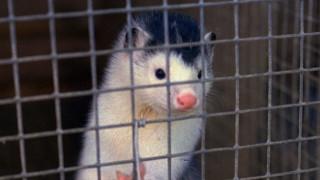 ΠΟΥ για μολύνσεις από μινκ: Ίσως είναι τα πρώτα κρούσματα μετάδοσης κορωνοϊού από ζώο σε άνθρωπο