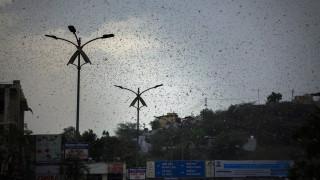«Είμαστε καταραμένοι»: Εισβολή ακρίδων σε πόλεις της Ινδίας
