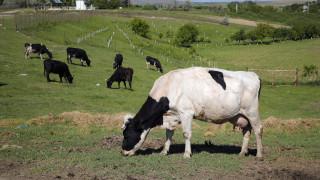 Βρετανία: Ηλικιωμένος πεζοπόρος πέθανε μετά από επίθεση αγελάδων