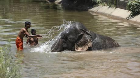 Ινδία: Κατακραυγή για την έγκυο ελεφαντίνα που την τάισαν... κροτίδα