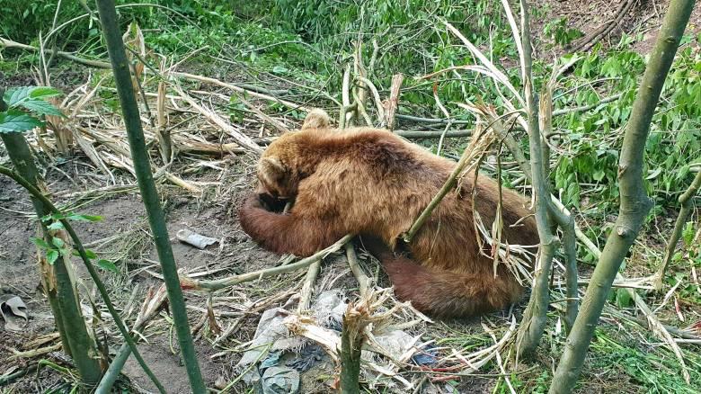 Ο «Αρκτούρος» απελευθέρωσε αρκούδα που είχε πιαστεί σε παράνομη παγίδα