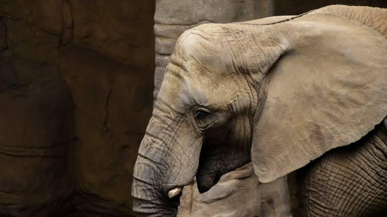 Ινδία: Μία σύλληψη για την έγκυο ελεφαντίνα που έφαγε κροτίδα και πέθανε