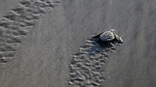 Αυστραλία: Χιλιάδες θαλάσσιες χελώνες έρχονται στο Μεγάλο Κοραλλιογενή Ύφαλο για ωοτοκία