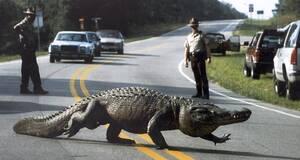 1994, Βόρεια Καρολίνα.  Επί ώρες οι αστυνομικοί της κομητείας του Μρούνσγουικ παρακολουθούν έναν αλιγάτορα, μήκους τεσσάρων μέτρων, ο οποίος αποφάσισε να βγει από τα έλη και να κάνει βότλες στην άσφαλτο, μπλοκάροντας την κίνηση.