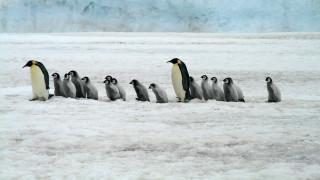 Ανταρκτική: Περιορίζεται ο ζωτικός χώρος των πιγκουΐνων εξαιτίας του λιωσίματος των πάγων