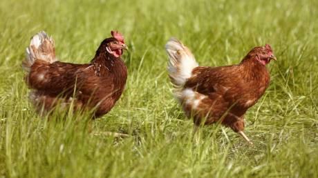 Η ιστορία του… κοτόπουλου: Ποιος ήταν ο πρώτος πρόγονος και πότε «εξημερώθηκε»