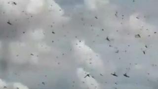 Αργεντινή: Εκατομμύρια ακρίδες εισέβαλαν από τη γειτονική Παραγουάη