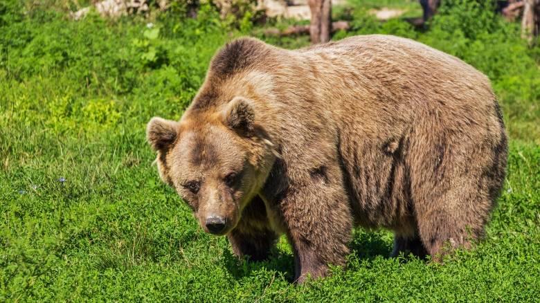 Ιταλία: Θανατική ποινή σε... αρκούδα που επιτέθηκε σε πεζοπόρους
