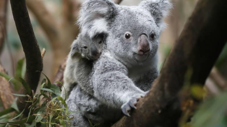 SOS για τα κοάλα στην Αυστραλία: Κινδυνεύουν με εξαφάνιση ως το 2050