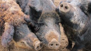 Γρίπη των χοίρων: «Σε επιφυλακή, αλλά όχι πανικός» - Τι λέει καθηγητής του ΑΠΘ